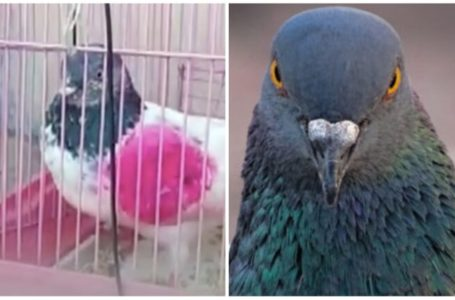 India Police arrest Pigeon suspected to be Pakistan Spy